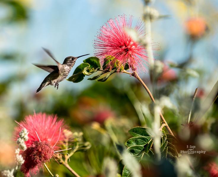 desert hummingbird-8256