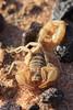 White Pocket scorpion