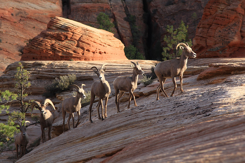 Big horned sheep, Zion National Park