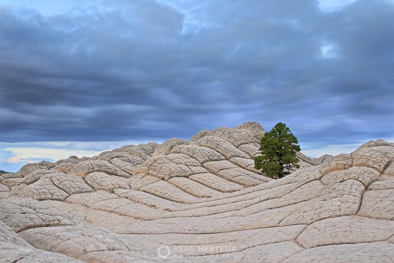 Lone white pocket pine
