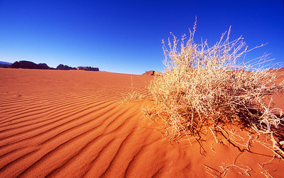 A lone bush in the dune of Wadi Rum, Jordan