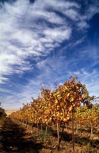 A desert vineyard, Sde Boker, Negev desert, Israel