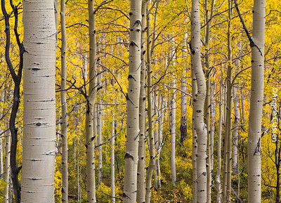 Aspens, Grand Mesa, Colorado