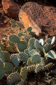 Prickly Pears, Sedona Arizona