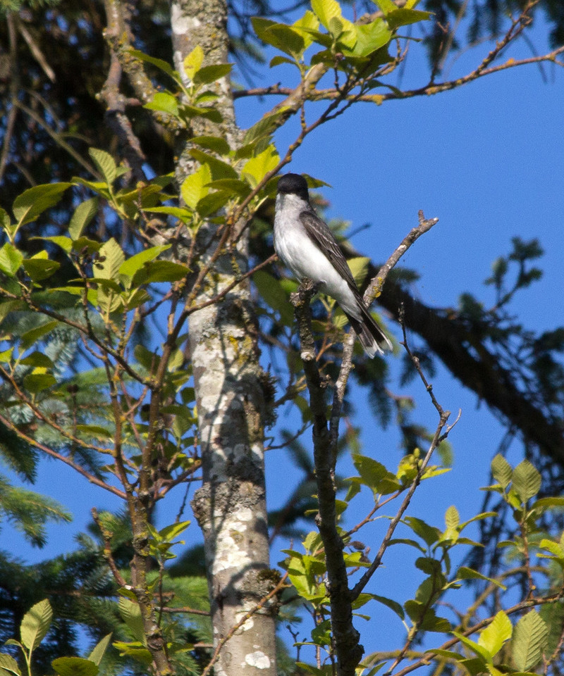 Eastern Kingbirds have been a common sight.