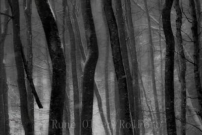 Vinterherjet bøkeskog