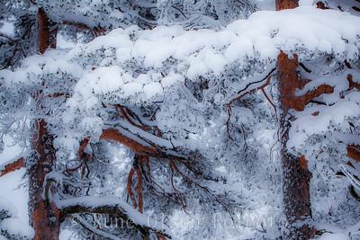 Vinteromfavnet furuskog