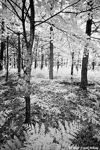 Northern Michigan woods IR #4