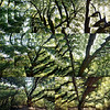 Oak repetition study