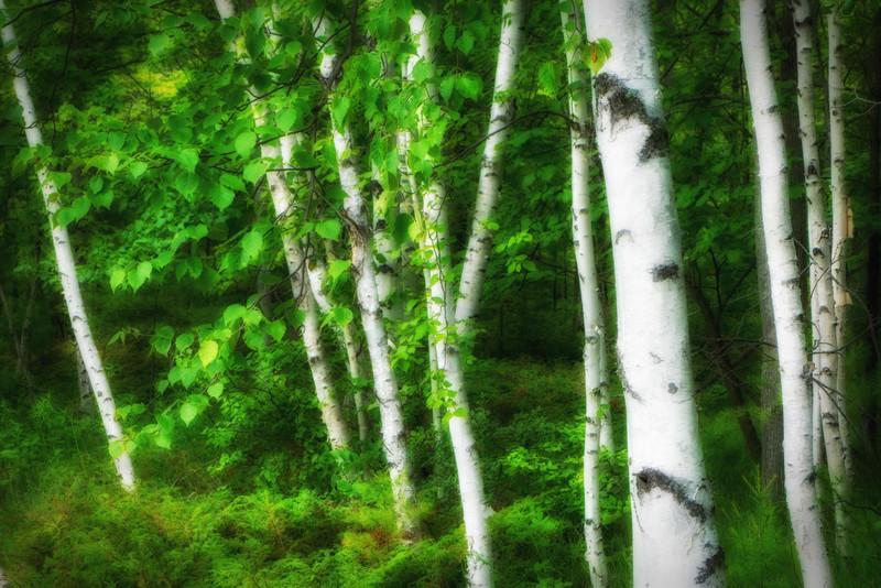 Birch Garden