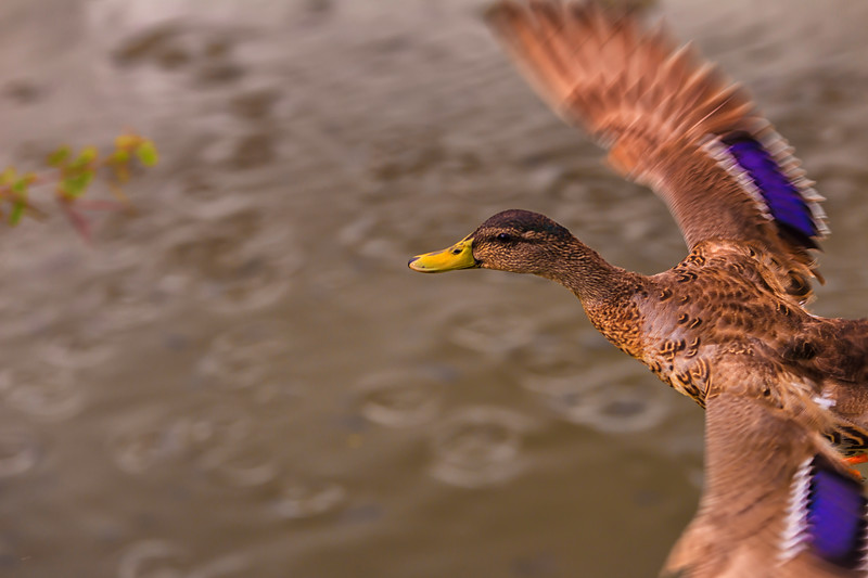 """Kaimalino 5.17.14  / Bird Shoot"""
