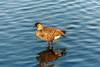 Ducks Wailoa State Park 1.26.14