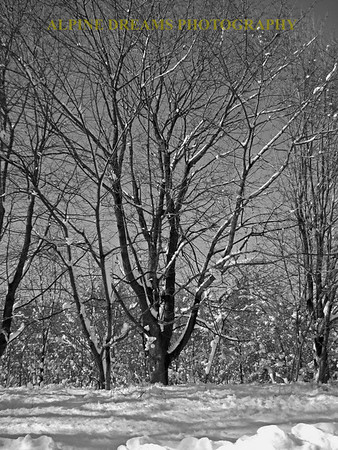 Snow-Trees-BW-3
