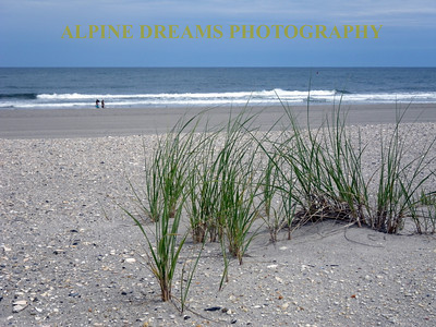 The young beach grass stands out against the sandy beach, surf and the blue sky in AVALON NJ.