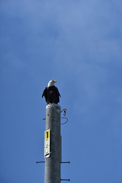 Jekyll Island Causeway - Eagle 10-25-19