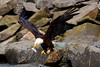 Eagle Carrying Fish Head, Valdez Alaska
