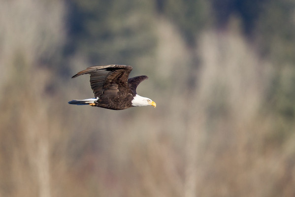 Eagles on the Nooksack & Skagit rivers, Washington
