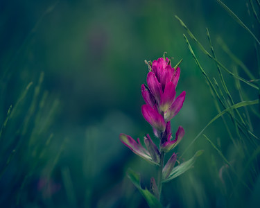 Coloradoan Indian Paintbrush