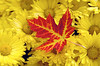 Red maple leaf fallen on yellow flowers