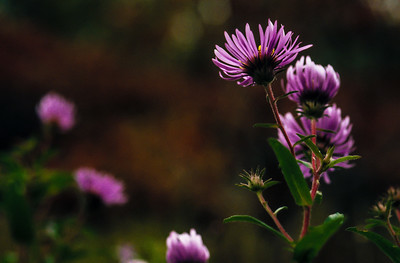 Asters at dusk