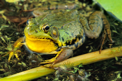 Portrait of a frog in a marsh