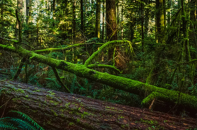 Fallen tree in Cathedral Grove
