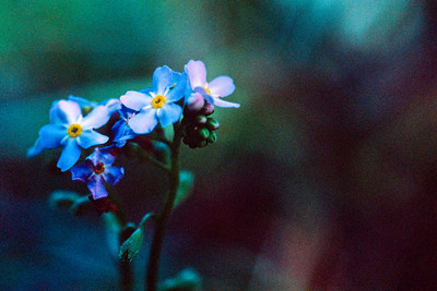 Garden Forget-Me-Not