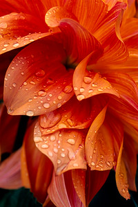 Orange flower after the rain