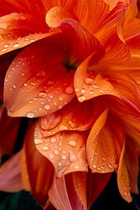 Orange flower after the rain