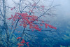 Red maple in fog
