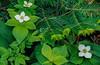 Bunchberry in bloom