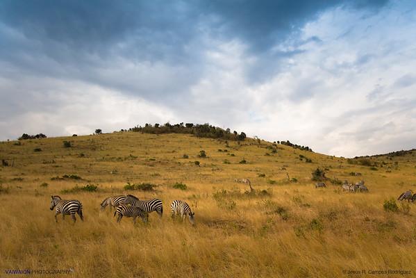 Scenery in Maasai Mara. Zebras.