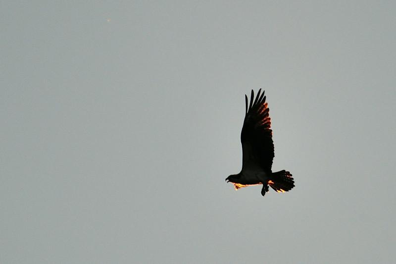 Osprey nesting in lower Alexander Ck valley