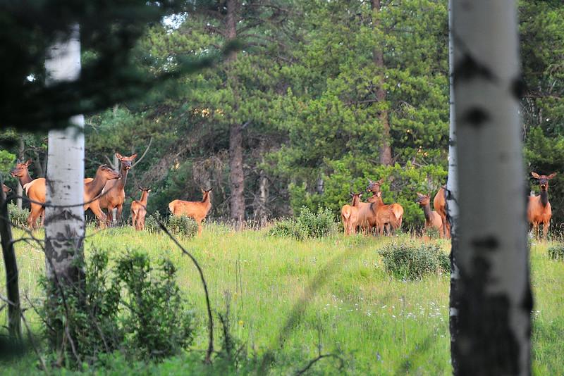 Elk on Grave Prairie