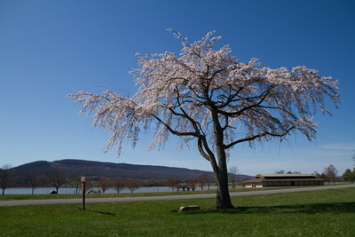 Flowering tree at Bald Eagle State Park