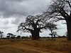 Baobob Tree in Tarangire