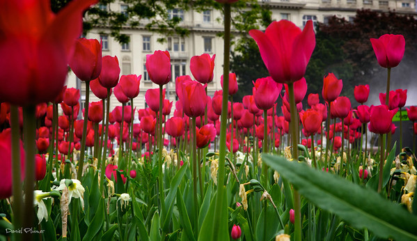 Tulips In Vienna