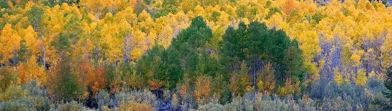 Bishop Creek Aspen Grove, Eastern Sierra, CA