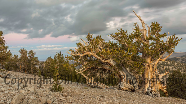 Bristlecone Pine, storm coming, sunset, looking East