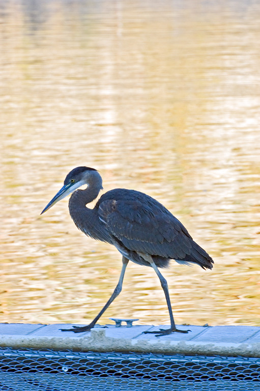 Great Blue Heron at June Lake Marina, 10/16/2005<br /> Nikon D70<br /> Nikkor 70-200 f/2.8 VR with TC-14E @ 195mm<br /> 1/125 sec @ f/10<br /> ISO 400