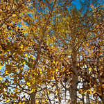 Looking up at Fall Colors 0632