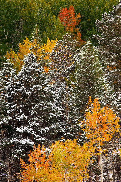 """Band of Fall Colors in Inyo National Forest""  Yosemite National Park, Inyo National Forest"