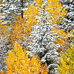 """Early Snow and Fall Colors in Yosemite""   I captured this in October during an early snowfall in Yosemite that closed Tioga Pass.   I Really liked the angles and patterns that came together with the Aspens and Jeffrey Pines together with the snow."