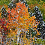Nature's Box of Crayons - Fall Aspens with fresh snow over near Lee Vining and Mono Lake.   Just a beautiful setting with the light dusting of fresh snow!