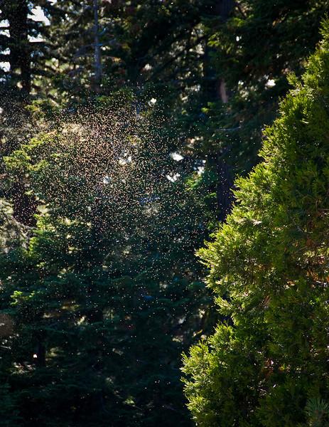 Swarm in the Eastern Sierr copy