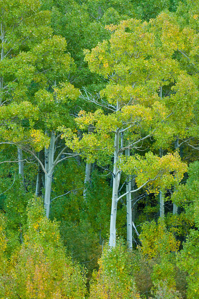 Green Leafed Aspens with a hint of color.  0889