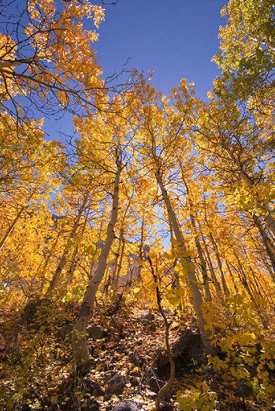 """""""Aspens Near Cardinal Pond I""""<br /> Aspendell, California<br /> 5 October 2006"""