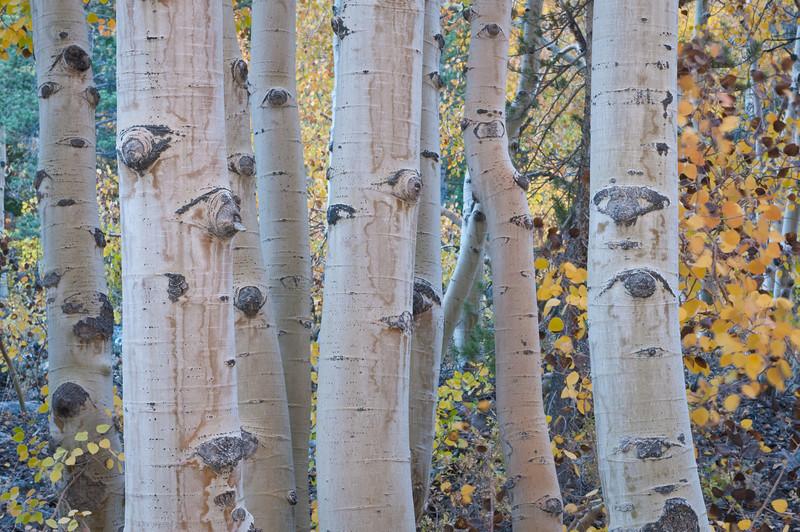 Fall Aspens in the Eastern Sierra 0684