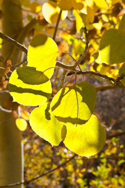 Backlit Fall Leaves 0674