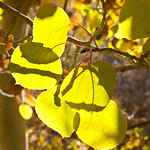 Backlit Fall Leaves 0674